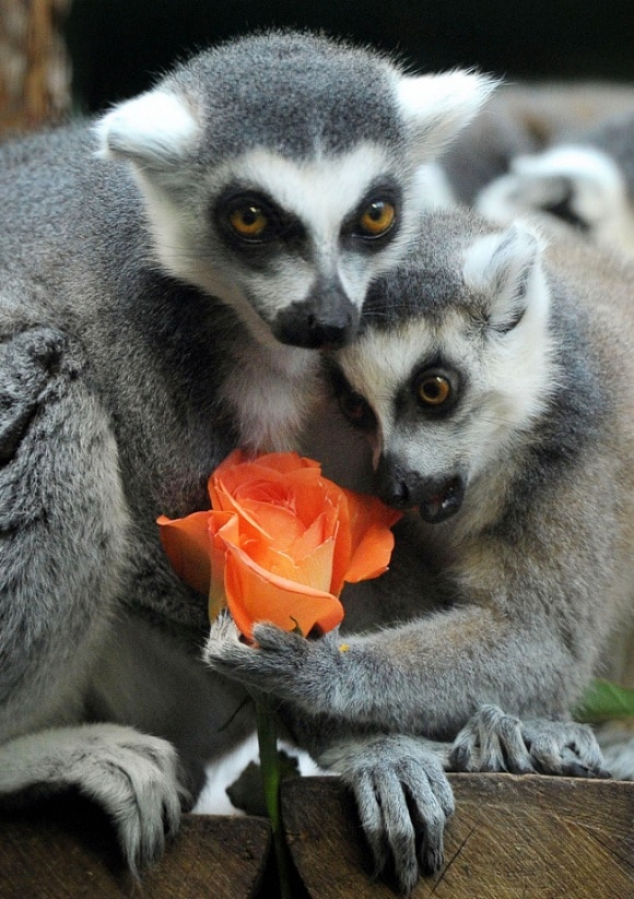 Loved Up Lemurs