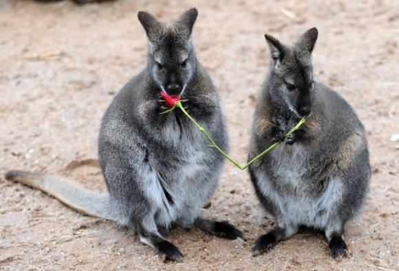 Wallaby Romance