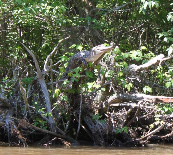 Tree climbing crocodile